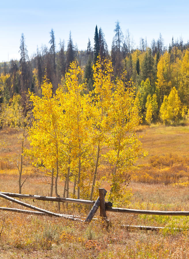 Download Aspen Trees in Autumn stock photo. Image of landscape - 21552892