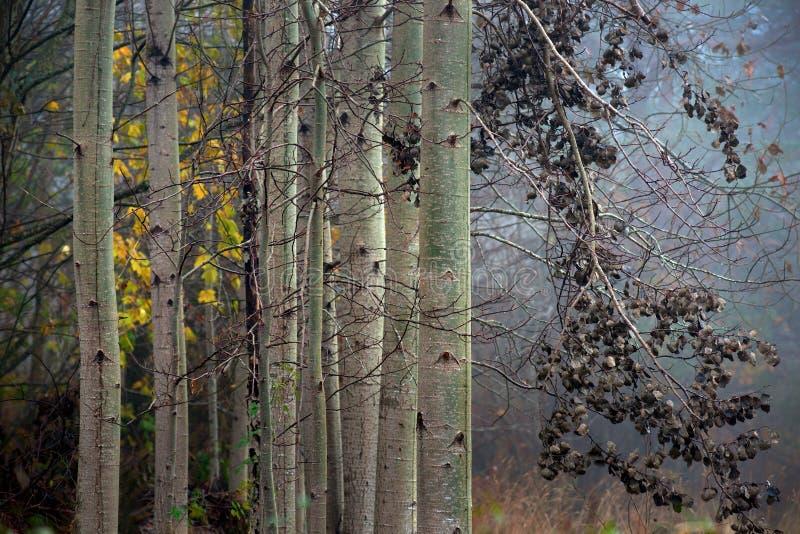 Download Aspen trees in autumn stock photo. Image of leaf, aspen - 27498552