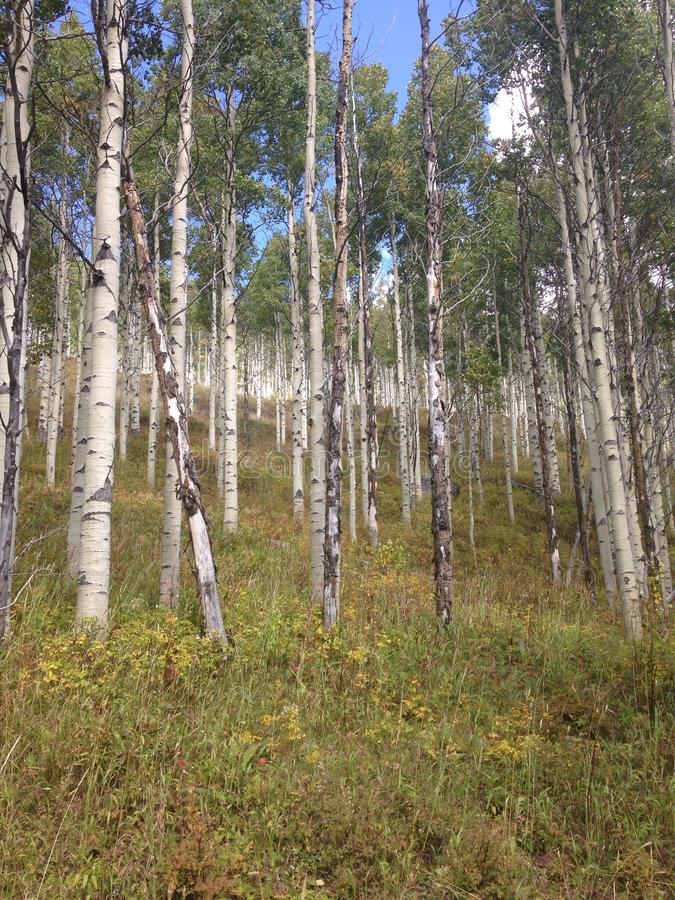 Aspen Trees in Colorado stock images
