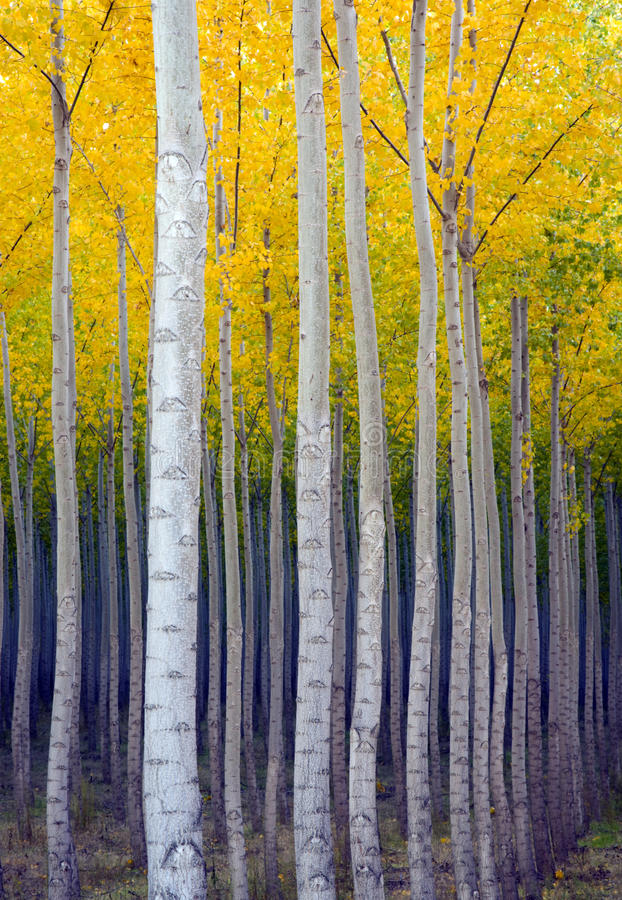 Free Aspen Trees Commited Vertical Growth Fall Color Royalty Free Stock Photo - 25075025