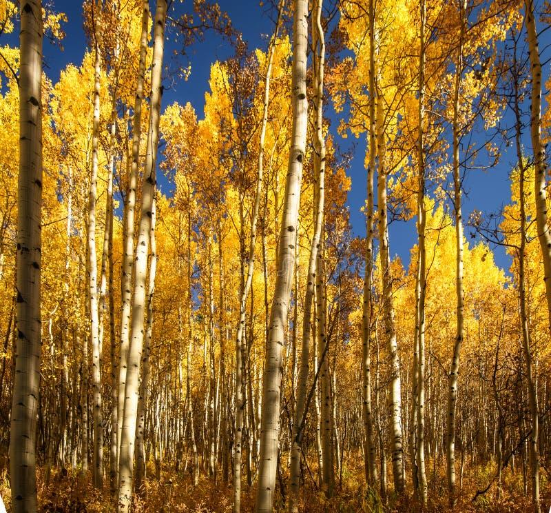 Aspen Trees in Daling van Colorado royalty-vrije stock foto's
