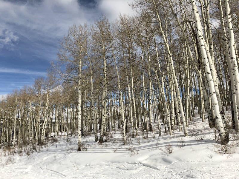 Aspen Trees dans un Forrest hivernal photos libres de droits