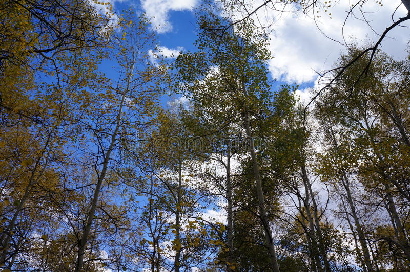 Aspen Trees Before ein heller blauer Himmel mit Wolken lizenzfreie stockbilder