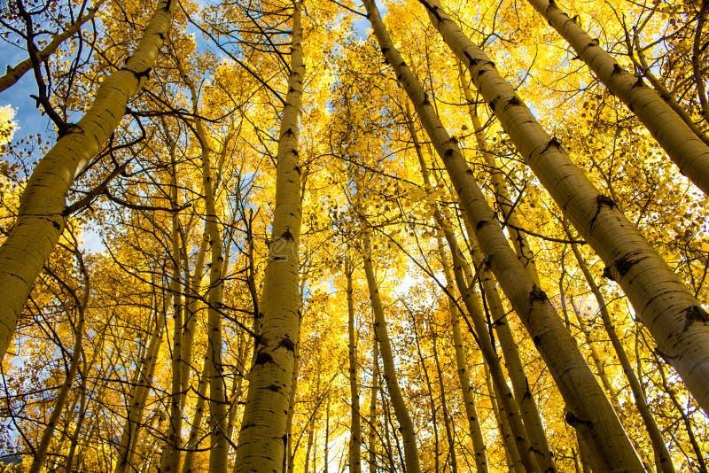 Aspen Trees in Esp, Colorado stock afbeelding