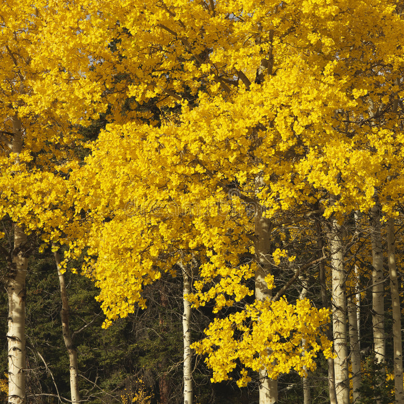 Aspen trees in fall color stock photos