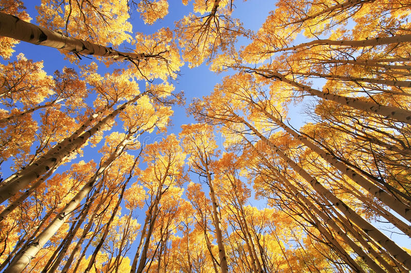 Aspen trees with fall color, San Juan National Forest, Colorado royalty free stock images