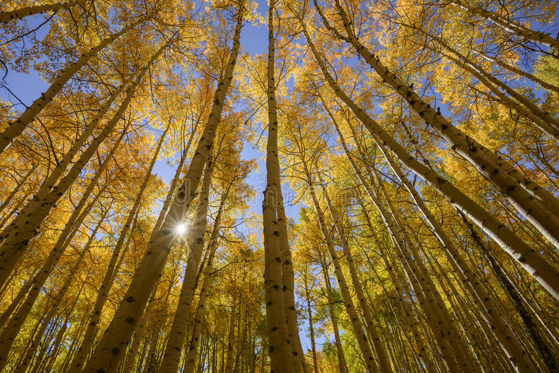 Aspen Trees in Fall ultra-wide angle shot stock image