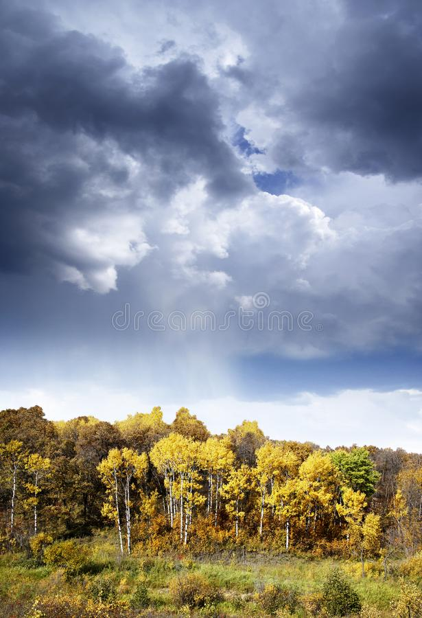 Aspen Trees in Fall under Stunning Cloud Sky. Colorful trees and shrubs in fall landscape under beautiful cloud sky.  Contrasting fall colors in this vertical royalty free stock photography