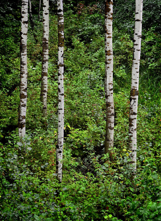 Download Aspen Trees and Forest stock photo. Image of green, strong - 33417286
