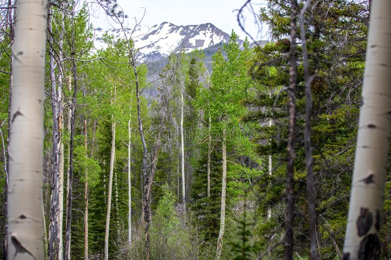 Aspen Trees Framing eine Snowy-Bergspitze in Rocky Mountain National Park stockfotos