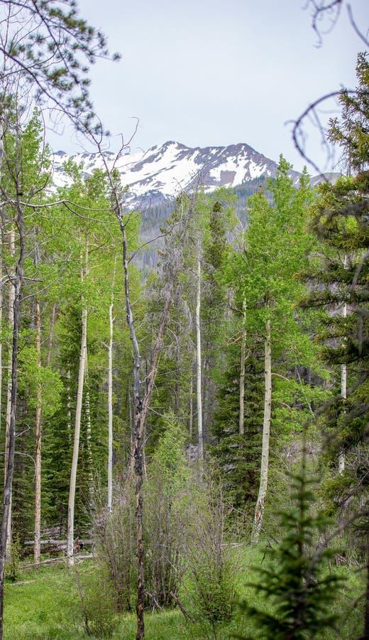Aspen Trees Framing ett snöig bergmaximum i Rocky Mountain National Park arkivfoton