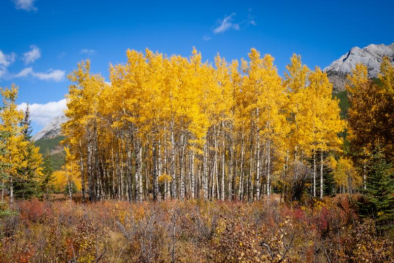 Aspen trees with golden yellow autumnal leaves in Kananaskis in the Canadian Rocky Mountains stock images