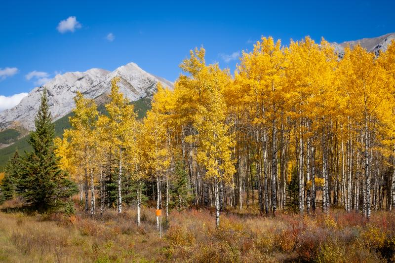 Aspen trees with golden yellow autumnal leaves in Kananaskis in the Canadian Rocky Mountains royalty free stock photo