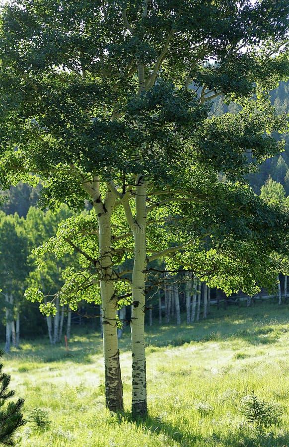 Aspen Trees i öppet grönt gräs- fält arkivfoto