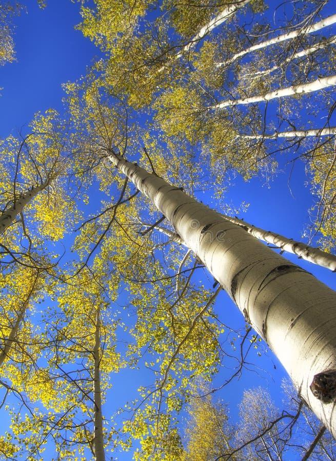 Aspen Trees i hösten royaltyfria bilder