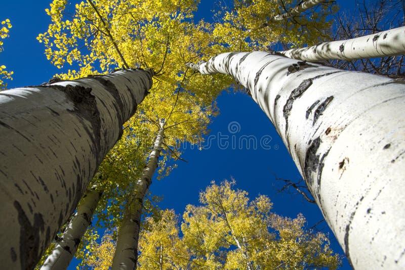 Aspen Trees i hösten royaltyfri bild