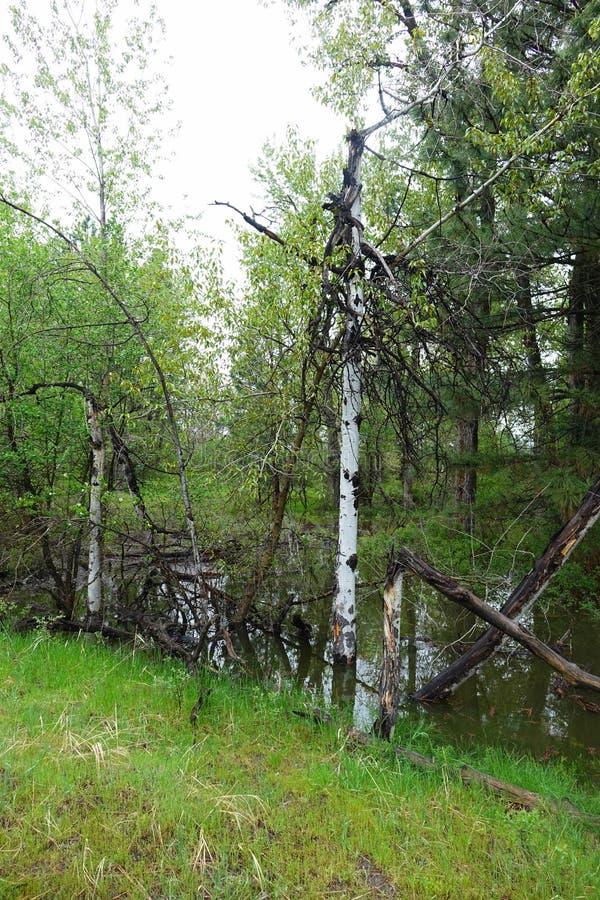 Aspen Trees - Missoula, Montana images libres de droits