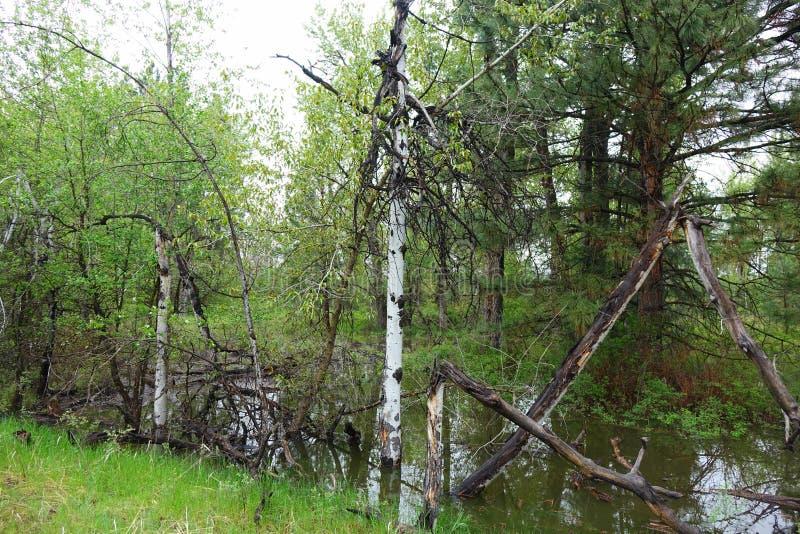 Aspen Trees - Missoula, Montana photos libres de droits