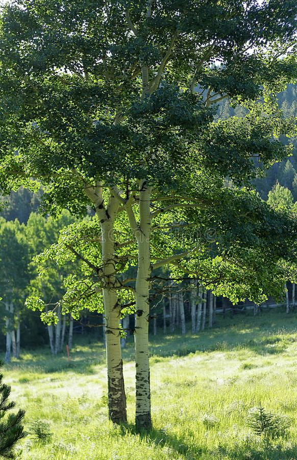 Aspen Trees no campo gramíneo verde aberto foto de stock