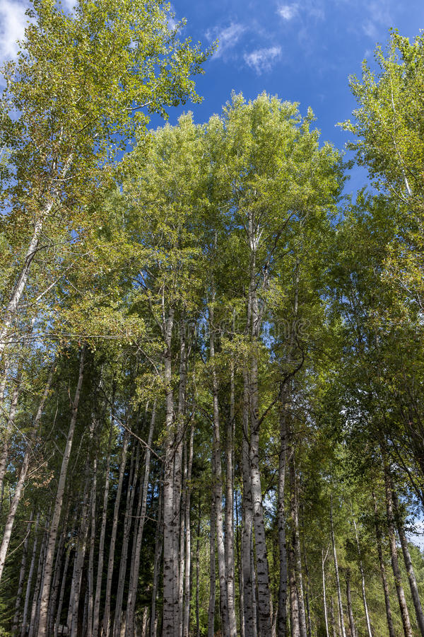 Aspen trees rising up to the sky. royalty free stock photography