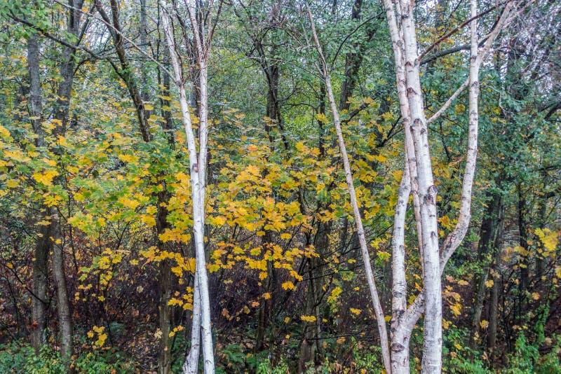 Aspen Trees At Seahurst Park lizenzfreie stockbilder