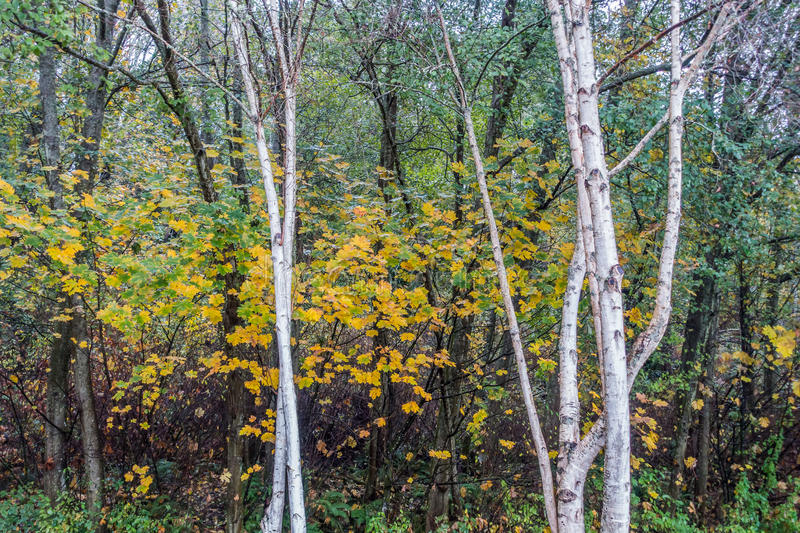 Aspen Trees At Seahurst Park. White Aspen trees grow in front of fall foliage at Seahurst Park in Burien, Washington royalty free stock images