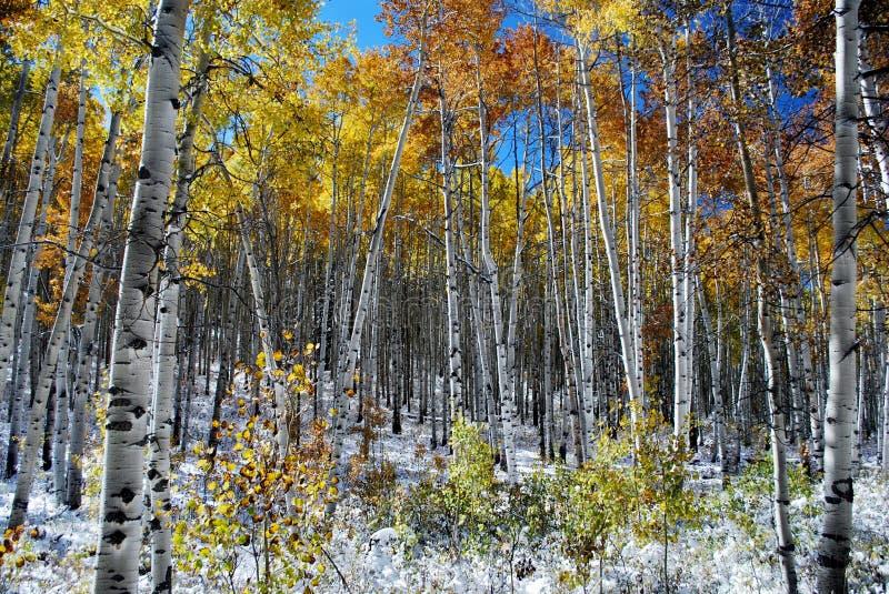 Aspen Trees in Snow royalty free stock photos