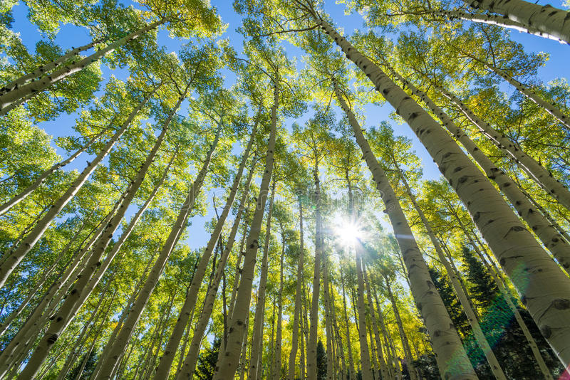 Aspen Trees. Standing among tall grove of aspen trees. Coconino National Forest - Lockett Meadow Campground, Flagstaff, Arizona royalty free stock image