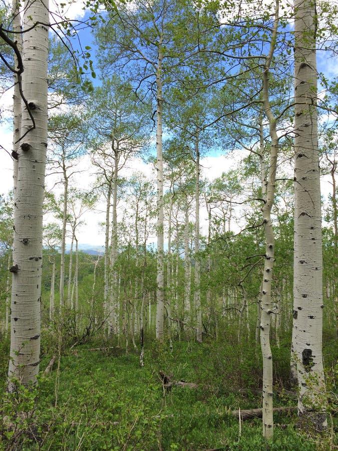 Aspen Trees Under Blue Skies stock foto's