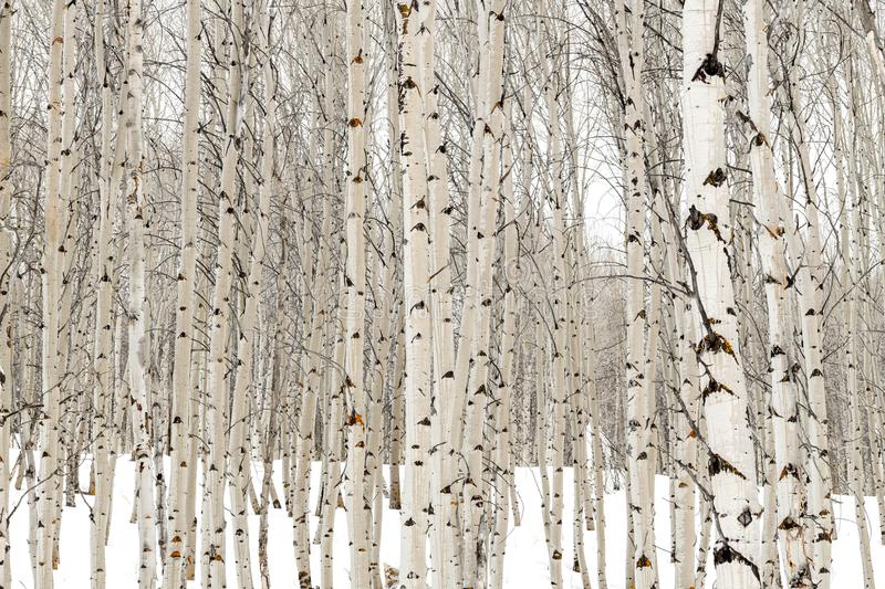 Aspen trees in winter with water soaked bark stock image