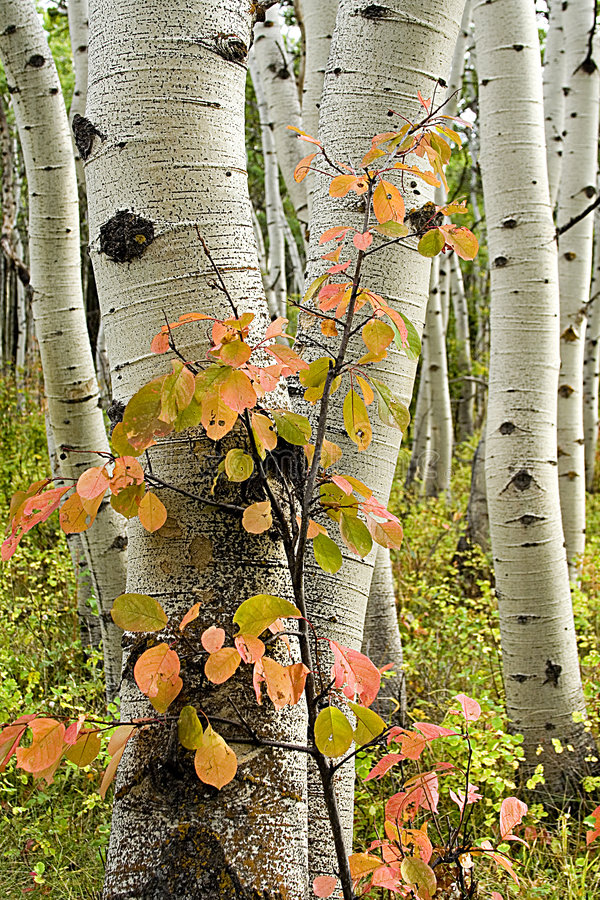 Free Aspen Trees With Red Shrub Royalty Free Stock Photos - 6748348