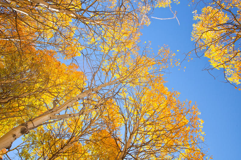 Download Aspen Trees With Yellow Leaves Stock Photo - Image of looking, bright: 46319810