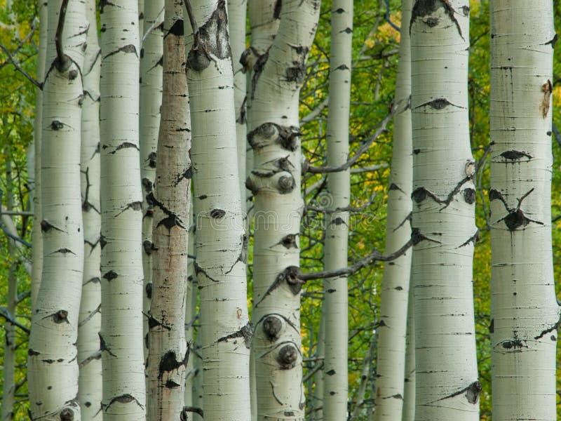 Aspen Trunks in Fall stock images