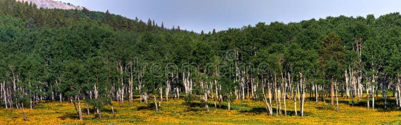 Aspen- und Sonnenblumen-Panorama stockfotos