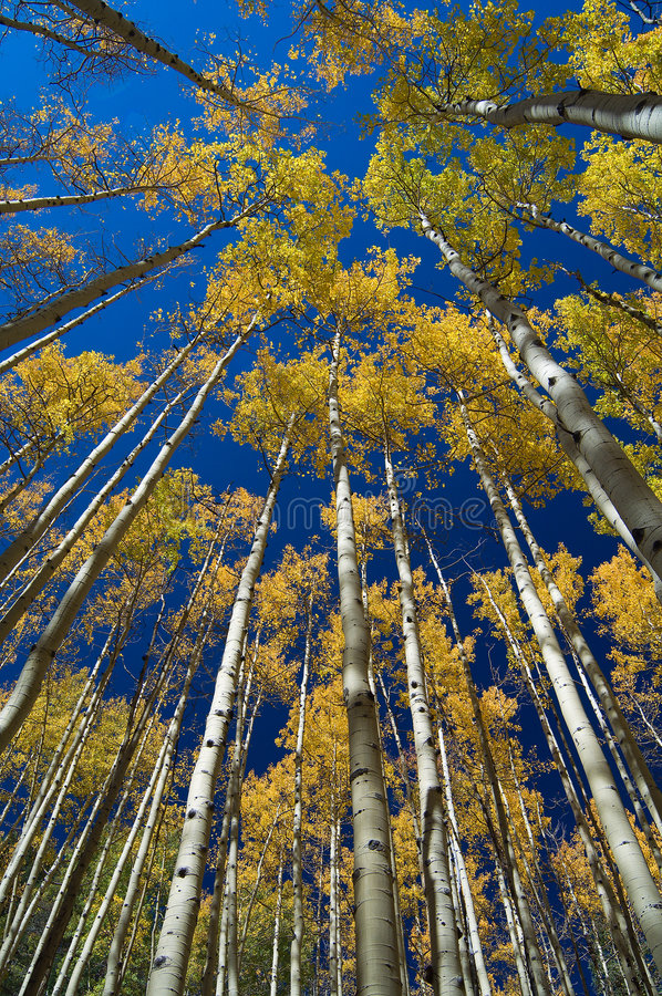 Aspen Vertigo stock photography