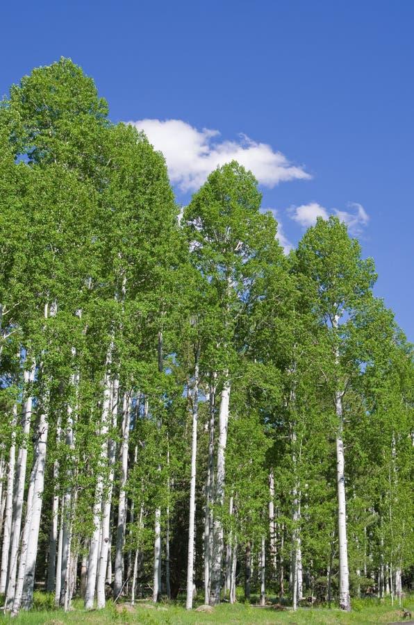 Aspen-Waldung lizenzfreie stockbilder
