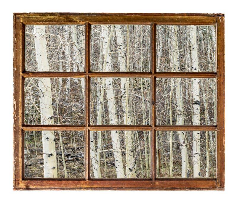 Aspen-Waldung in der Winterfensteransicht stockbild