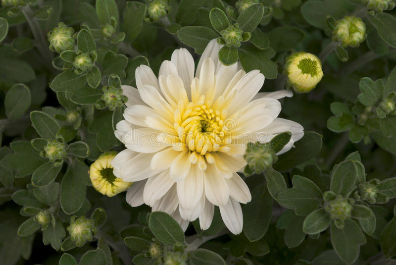 aspen white chrysanthemum. One white flower centered, chrysanthemum leafs and buds royalty free stock images