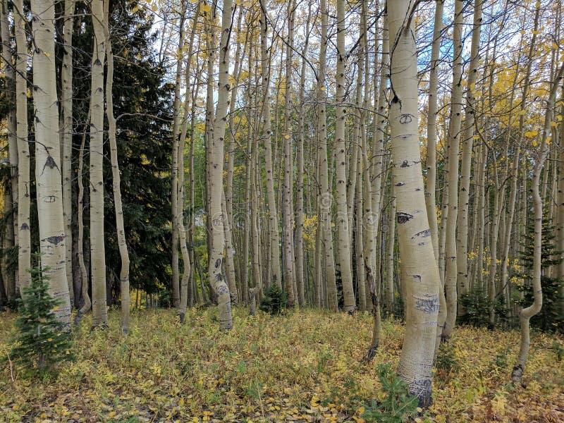 Aspen Wilderness arkivfoton