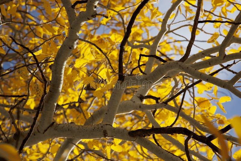aspens φθινόπωρο στοκ εικόνες με δικαίωμα ελεύθερης χρήσης