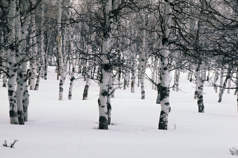 aspens χειμώνας στοκ φωτογραφίες με δικαίωμα ελεύθερης χρήσης