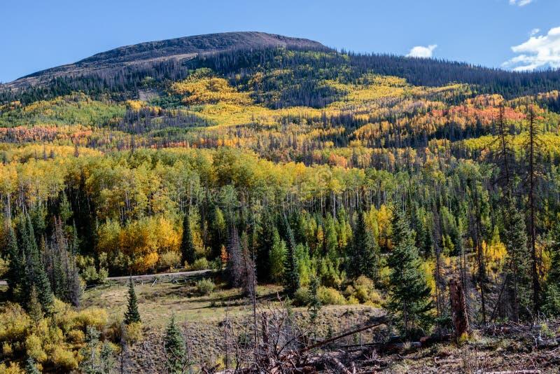 Aspens Along the Bachelor Loop, Creede Colorado stock image