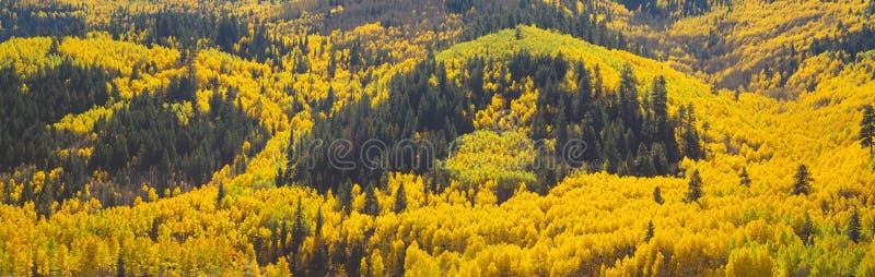 Aspens in Autumn near Rico, Colorado stock images