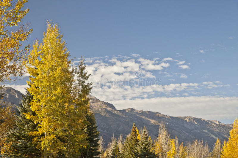 Aspens in Autumn in Wyoming stock images