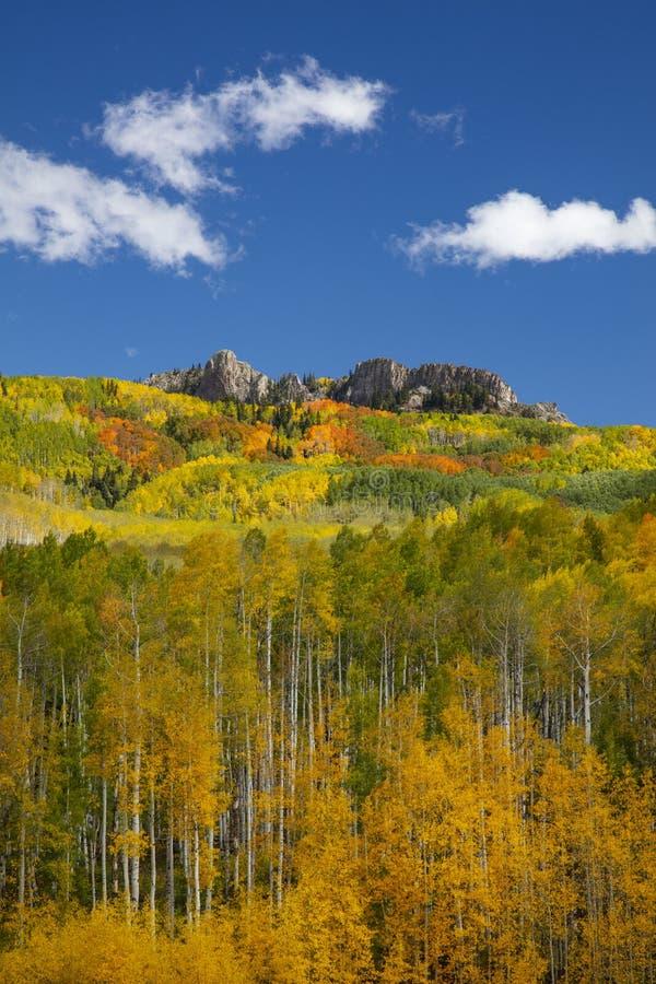 Aspens in the Fall at Kebler Pass koło Crested Butte Colorado America Liść Aspensa zmienia kolor z zielonego na żółty zdjęcie stock