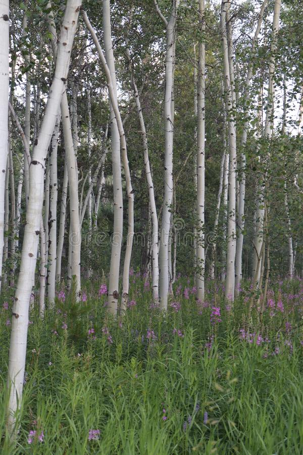 Vertical shot of a mountain Aspen stand. Vertical shot of white aspens against a meadow of purple flowers royalty free stock photography