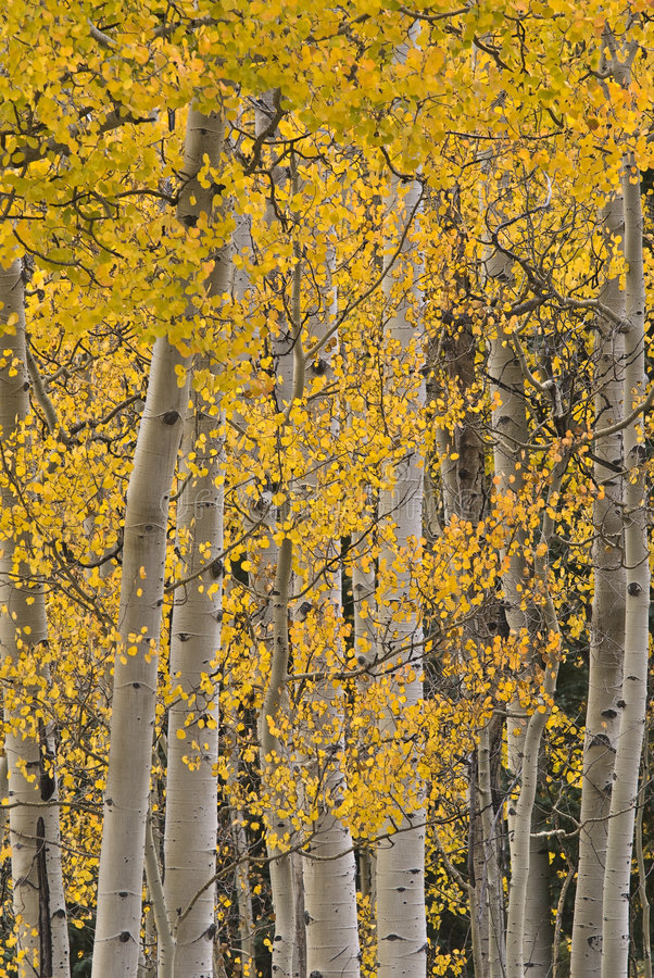 Free Aspens In The Fall Stock Photo - 7898990