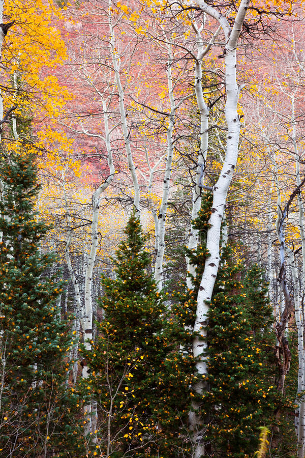 Free Aspens In The Midst Of Pine Trees Royalty Free Stock Photo - 27899145