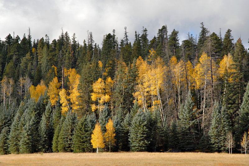 Download Aspens & Pines Royalty Free Stock Photo - Image: 4225505