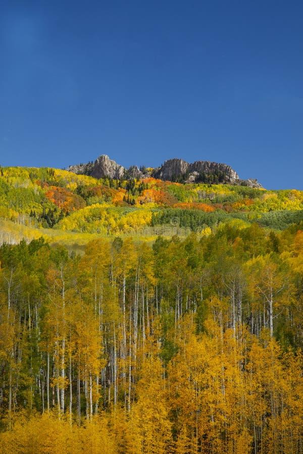 Aspens w jesieni na przełęczy Kebler w pobliżu Crested Butte Colorado America Liść Aspensa zmienia kolor z zielonego na żółty zdjęcie stock